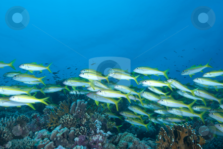 A school of Yellowfin goatfish (Mulloidichthys vanicolensis) stock photo, A school of Yellowfin goatfish (Mulloidichthys vanicolensis). Red Sea, Egypt. by Mark Doherty