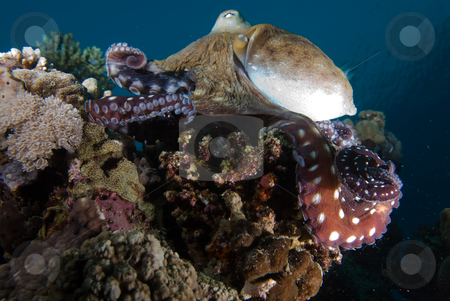 Reef octopus (Octopus cyaneus)  stock photo, Reef octopus (Octopus cyaneus) foraging on the coral reef in the early morning. Red Sea, Egypt by Mark Doherty
