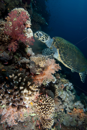 Hawksbill turtle (eretmochelys imbricata) stock photo, Hawksbill turtle (eretmochelys imbricata), endangered,feeding on soft corals in the early morning. Red Sea, Egypt. by Mark Doherty