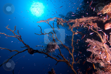 A Common Lion fish sheltering in the remains of a diseased Fan C stock photo, A Common Lion fish sheltering in the remains of a diseased Fan Coral. Red Sea, Egypt. by Mark Doherty
