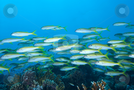 A school of Yellowfin goatfish (Mulloidichthys vanicolensis) stock photo, A school of Yellowfin goatfish (Mulloidichthys vanicolensis). Red Sea, Egypt. by Mark Doherty