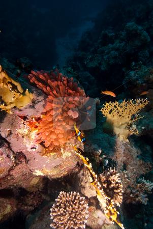 A vibrant red bubble anemone. stock photo, A vibrant red bubble anemone. Red sea, Egypt. by Mark Doherty