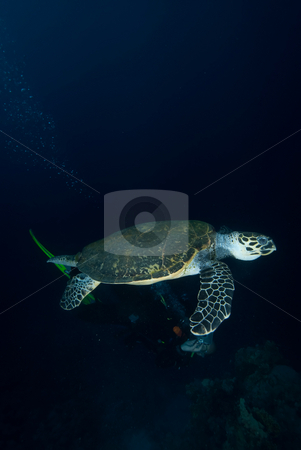 Hawksbill turtle (eretmochelys imbricata) stock photo, Hawksbill turtle (eretmochelys imbricata), endangered, in the early morning. Red Sea, Egypt. by Mark Doherty