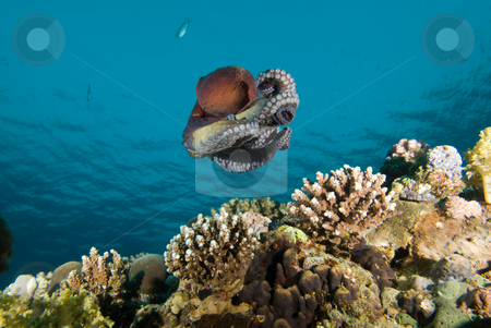Low angle view of A Reef octopus (Octopus cyaneus) stock photo, Low angle view of A Reef octopus (Octopus cyaneus) swimming above the reef during an early morning forage. Red Sea, Egypt. by Mark Doherty