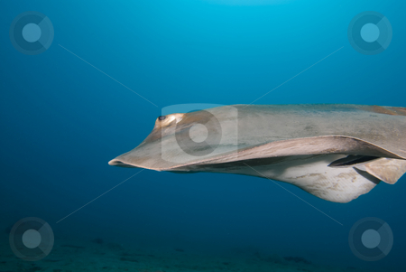 Side view of a Feathertail stingray (Pastinachus sephen) stock photo, Side view of a Feathertail stingray (Pastinachus sephen) gliding above the sandy ocean floor.Red Sea, Egypt by Mark Doherty