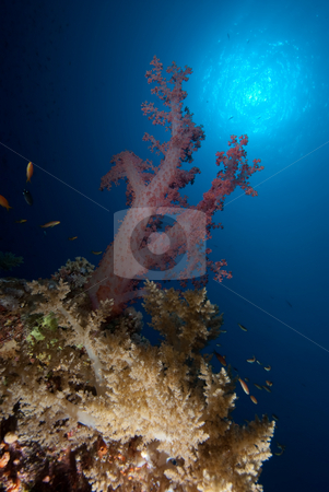 A solitary branch of purple soft coral stock photo, A solitary branch of purple soft coral. Red Sea Egypt. by Mark Doherty