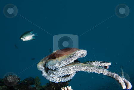 A Reef octopus (Octopus cyaneus) stock photo, A Reef octopus (Octopus cyaneus) swimming above the reef during an early morning forage. Red Sea, Egypt. by Mark Doherty