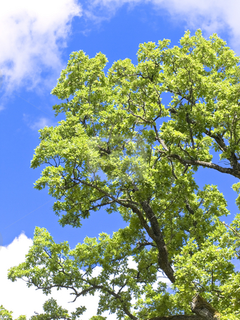 Brunches  stock photo, Old oak brunches against the blue sky by Sergej Razvodovskij