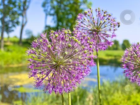 Flowers  stock photo, Pink flowers near the small blue pond against the blue sky by Sergej Razvodovskij