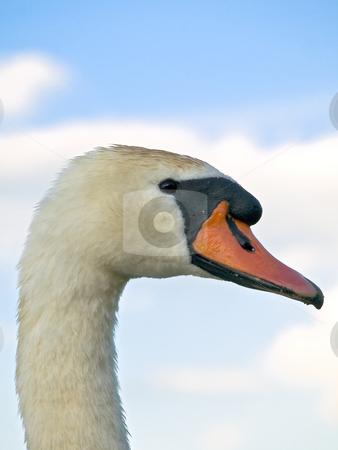 Swan  stock photo, Swan portrait against the blue sky by Sergej Razvodovskij