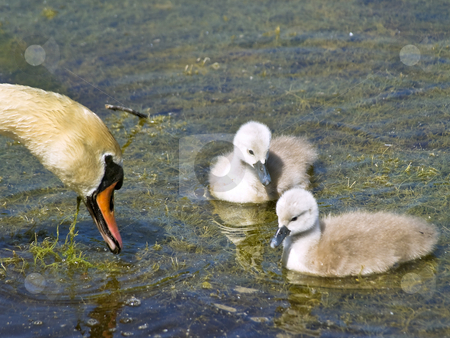 Swan  stock photo, Two little swans with parent on the water by Sergej Razvodovskij