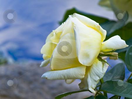 Rose  stock photo, Yellow rose against the blue sky by Sergej Razvodovskij