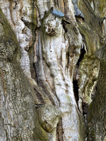 Bark  stock photo, Bark of the oldest oak in Europe (appr.1500 years) by Sergej Razvodovskij