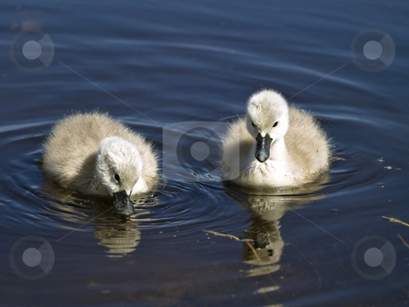 Swans stock photo, Two little swans swimming at the water by Sergej Razvodovskij