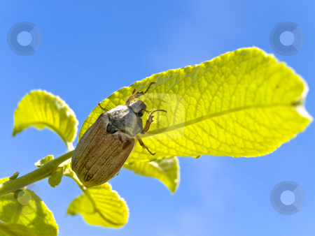 Chafer  stock photo, Chafer at the green leaves against the blue sky by Sergej Razvodovskij