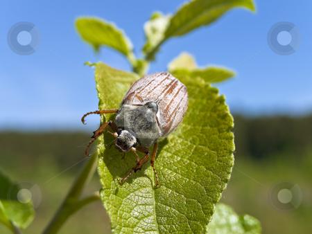 Chafer  stock photo, Photo of the single chafer at the green leaf by Sergej Razvodovskij