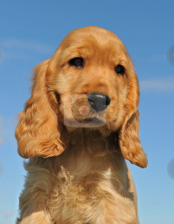 Puppy cocker spaniel stock photo, Portrait of a young puppy purebred english cocker by Bonzami Emmanuelle