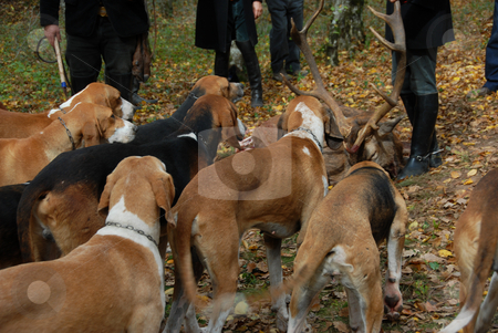 Fox hunting stock photo, Foxhounds waiting for eating the roe deer by Bonzami Emmanuelle