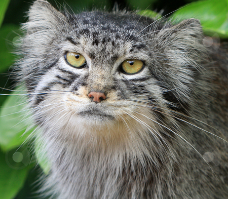 Cat stock photo, Close-up portrait of a beautiful Pallas cat aka Manul by Karen Arnold