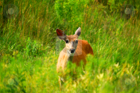 White-tailed deer stock photo, Female White-tailed Deer in a field of tall grass by Alain Turgeon