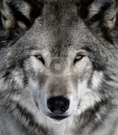 Gray Wolf stock photo, Close-up portrait of a gray wolf by Alain Turgeon