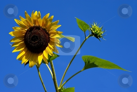 Sunflower on blue sky stock photo, Yellow sunflower on clear blue sky by Juraj Kovacik