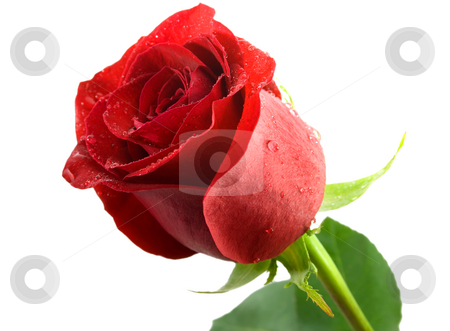 Rose flower  stock photo, Red rose flower with a water drops isolated on white background by Vladyslav Danilin