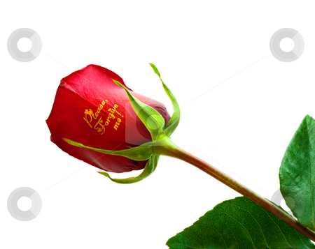 Rose  stock photo, Rose isolated on white background by Vladyslav Danilin