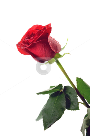 Red rose stock photo, Red rose with a water drops isolated on white background by Vladyslav Danilin