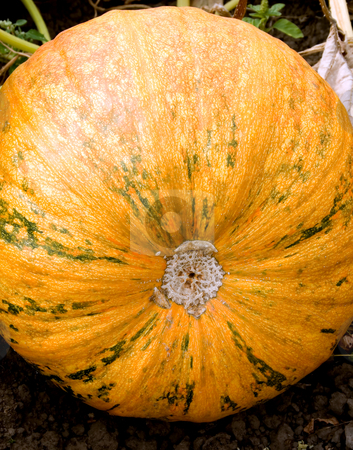 Pumpkin stock photo, Pumpkin autumn vegetable  close-up nature background by Vladyslav Danilin