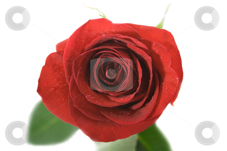 Red rose stock photo, A Single red rose,close-up .Isolated On white background. by Vladyslav Danilin