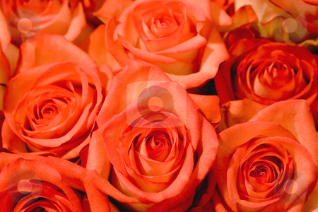 Pink rose stock photo, Beautiful background made of pink roses by Vladyslav Danilin