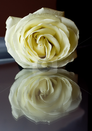 White rose  stock photo, White rose macro , close -up with reflection render by Vladyslav Danilin