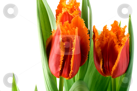 Tulips stock photo, Spring tulips isolated on white by Vladyslav Danilin