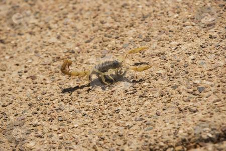 Desert Striped Scorpion stock photo, Striped desert scorpion next to desert rock by Scott Griessel