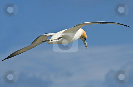 Muriwai Gannet stock photo, A Gannet flies high at nesting time off the coast of Muirwai - north Island of New Zealand. One of only 3 long term colonies  in the island by Robin Ducker