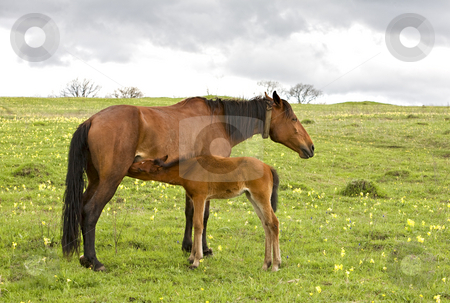 Horse and foal drinking milk stock photo, Horse and foal drinking milk on a green meadow by Valery Kraynov