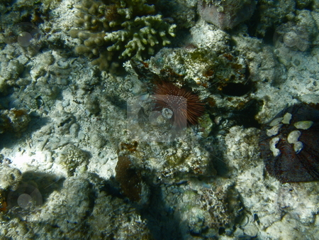 Urchins  stock photo, Seeigel bei schnorcheln im rotem Meer / Urchins in red sea by snorkeling by Thomas K?