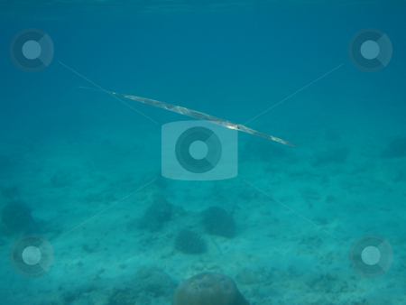 Flutefish  stock photo, Seenadel (Fl???tenfisch) im rotem Meer / Flutefish in the red sea by Thomas K?
