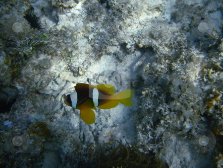 Find Nemo stock photo, Clownfisch im roten Meer bei Hurghada / clownfish in the Red Sea by Hurghada by Thomas K?