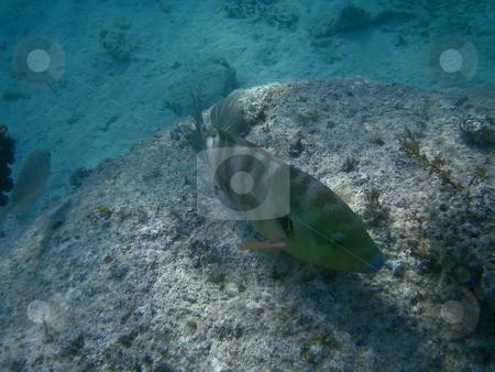 Perch  stock photo, Buntbarsch beim schnorcheln im roten Meer /     perch in the snorkel in the Red Sea by Thomas K?