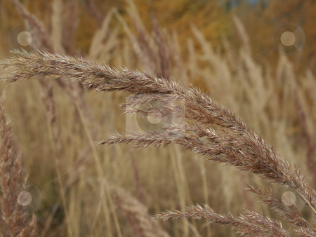 Grass  stock photo, Herbstliche Grasbl???te auf alpiner Wiese /  autumnal grass blooms on alpine meadow by Thomas K?