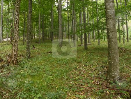 Beech forest stock photo, Buchenwald im gr??????en Hollental auf der Rax / beech forest on the Rax by Thomas K?