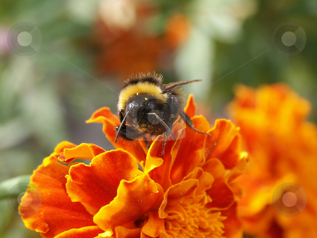Bumble-bee sitting on Tagetes stock photo, Hummel auf Studentenblume sitzend / bumble-bee sitting on Tagetes by Thomas K?