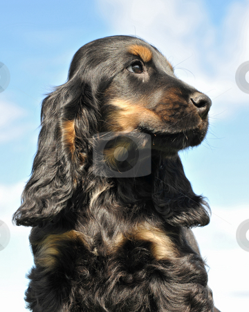 Puppy cocker spanier stock photo, Portrait of a puppy purebred cocker spanier on a blue sky by Bonzami Emmanuelle