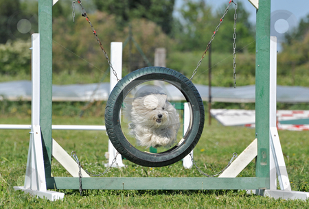 Jumping maltese dog  stock photo, Purebred maltese dog in a competition of agility by Bonzami Emmanuelle