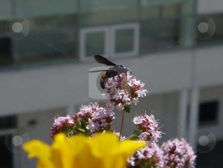 Hornet  stock photo, Hornisse auf Oreganobl???te sitzend / Hornet sitting on wild oregano blossoms by Thomas K?