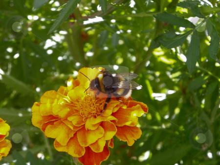 Bumble-bee sitting on marigold stock photo, Hummel auf Tangetes (Studentenblume) sitzend /      bumble-bee sitting on marigold by Thomas K?
