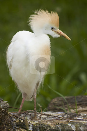 Cattle Egret stock photo, Cattle egret standing on a tree trunk by Inge Schepers