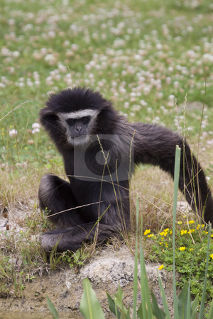 Gibbon stock photo, Gibbon monkey sitting in the grass by Inge Schepers